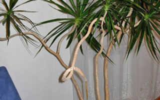 Драцена драконовая: описание растения, особенности ухода в домашних условиях, размножение, фото