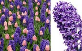 Гиацинт (Hyacinthus): фото на клумбе, многолетний или однолетний, с чем сочетается, как получил название