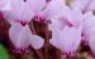 Размножение цикламена в домашних условиях: основные способы, уход за растением и пересадка, фото, видео