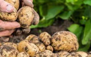 Как размножается картофель: особенности и основные способы размножения