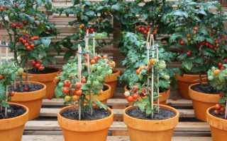 Выращивание помидоров на балконе в домашних условиях: пошагово с фото, особенности, видео