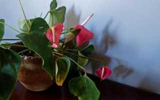 Почему у антуриума сохнут листья: что делать и как спасти растение, меры профилактики, фото