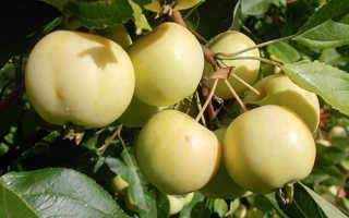 Уральское наливное – сорт яблони, описание с фото, посадка отзывы