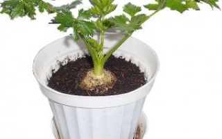 Как вырастить сельдерей дома на подоконнике зимой: особенности выращивания и ухода, правильная посадка