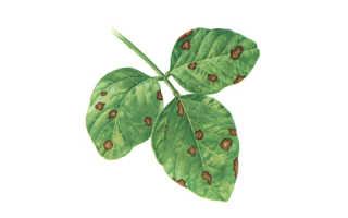Аскохитоз нута и его вредоносность, болезни семян нута, описание и фото заболеваний