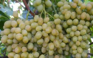 Виноград «Ланселот»: описание сорта, фото, отзывы