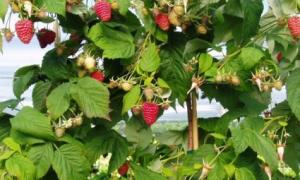 Ремонтантная розовая штамбовая малина премиального сорта Королевская власть: описание, внешний вид, урожайность, фото