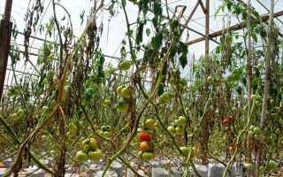 Почему вянут помидоры в теплице и что при этом делать