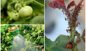 Как избавиться от тли на помидорах в домашних условиях народными и химическими средствами: методы борьбы и профилактики