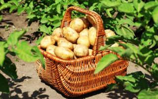 Когда убирать картофель по лунному календарю: советы для огородников