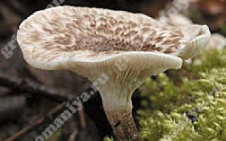 Как приготовить пилолистник чешуйчатый или шпальный гриб, фото