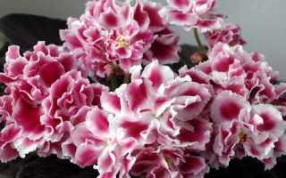 Фиалка Морозная вишня: фото и описание сорта, выращивание и уход в домашних условиях