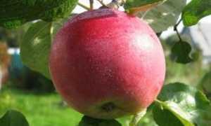 Яблоня Мельба: описание и характеристика, посадка и уход, фото, отзывы