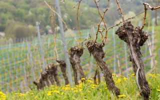 Опрыскивание винограда весной от вредителей и болезней, средства