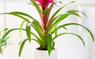 Гузмания язычковая (комнатные растения): уход в домашних условиях, фото, размножение, пересадка