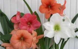 Гиппеаструм: посадка, выращивание и уход в домашних условиях, особенности размножения и пересадки, фото