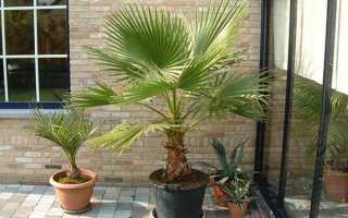 Пальма вашингтония нитеносная (комнатные растения): уход в домашних условиях, выращивание из семян, фото