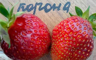 Клубника Корона: описание и характеристика сорта, выращивание и уход, фото