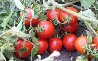 Томат Земляк: описание и характеристика, выращивание сорта, урожайность, фото