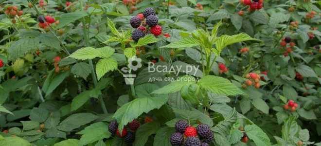 Чёрная малина Бристоль: описание, преимущества и недостатки сорта, особенности выращивания,фото, отзывы