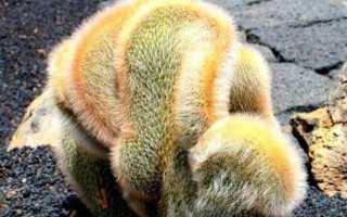 Клейстокактус: описание и фото, виды, особенности ухода и размножение в домашних условиях