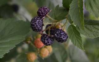 Ежевика садовая: посадка, выращивание и уход на даче в Подмосковье, когда сажать весной и открывать после зимы