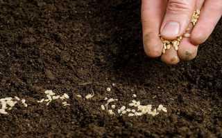 Можно ли сеять петрушку и укроп под зиму: как правильно это делать и когда их убирать