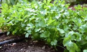 Кориандр: особенности выращивания из семян в домашних условиях, уход в открытом грунте