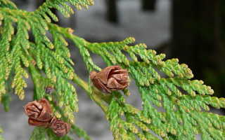 Туя складчатая Форевер Голди (thuja plicata Forever Goldy) описание, посадка и уход, применение в ландшафтном дизайне, фото