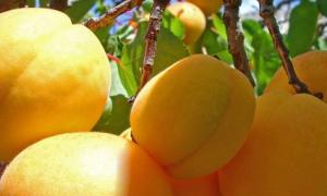Абрикос Медовый: описание и характеристика сорта, особенности ухода и выращивание, фото
