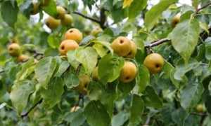 Груша Уссурийская: описание и характеристика сорта, выращивание и уход, фото