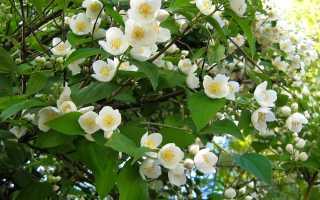 Как размножить жасмин разными способами: черенками летом и весной, размножение отводками и делением куста, как размножается садовый
