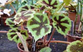 Бегония мэсона: описание комнатного растения, уход в домашних условиях, особенности размножения