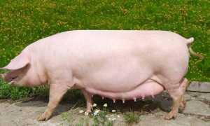 Опорос свиней: как принимать роды в домашних условиях