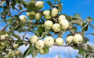Яблоня сорта Белый налив (Папировка): характеристика, основные отличия, агротехника выращивания и уход, фото