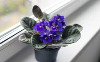 Почему не цветут фиалки в домашних условиях: причины, что делать, правильный уход, видео