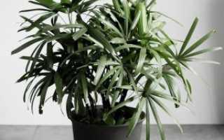 Рапис (пальма комнатная): уход в домашних условиях, фото, приметы и суеверия