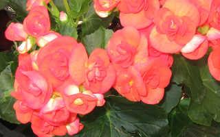 Бегония элатиор (комнатные растения): уход в домашних условиях, размножение, пересадка, фото