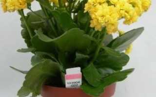 Каланхоэ Блоссфельда: уход в домашних условиях, фото, лечебные свойства, размножение, обрезка, цветение