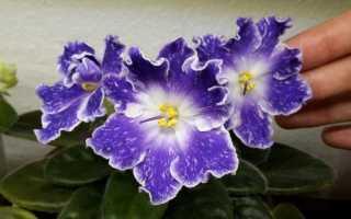 Фиалка DS-Сияющий Колокольчик: фото и описание сорта, выращивание и уход в домашних условиях