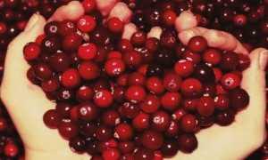 Клюква: полезные свойства, использование и противопоказания для здоровья женского организма
