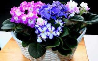 Фиалка Мачо: фото и описание сорта, выращивание в домашних условиях