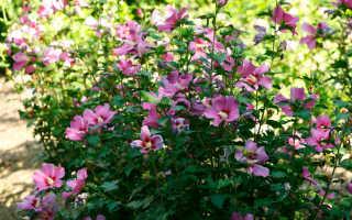 Гибискус или Китайская роза: описание растения, выращивание и уход в домашних условиях, отзывы