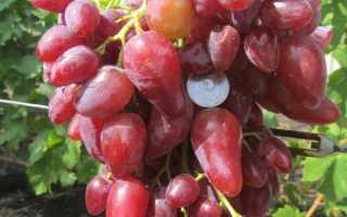 Виноград Дубовский розовый: описание сорта, фото
