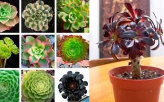 Эониум: виды, уход в домашних условиях, фото, размножение