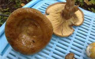 Как правильно чистить грибы свинушки и приготовить их, рецепт с фото