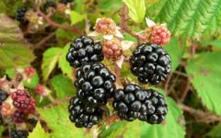 Ежевика садовая: посадка в открытый грунт, выращивание, уход, размножение и обрезка, как правильно посадить, где, когда и