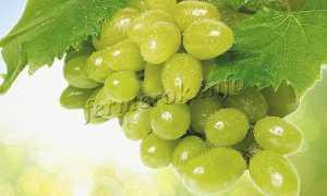 Виноград Тимур (розовый): описание сорта, фото