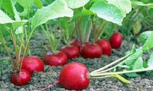 Особенности выращивания и ухода редиса в домашних условиях