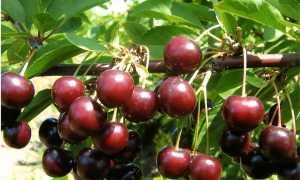 Вишня Тамарис: описание и характеристика сорта, выращивание и уход, фото